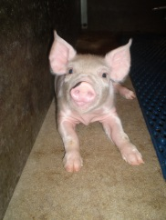 piglet lying down