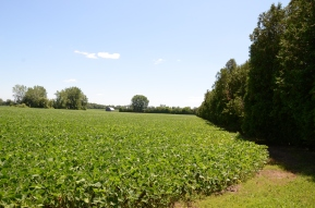row of trees planted by soybean field